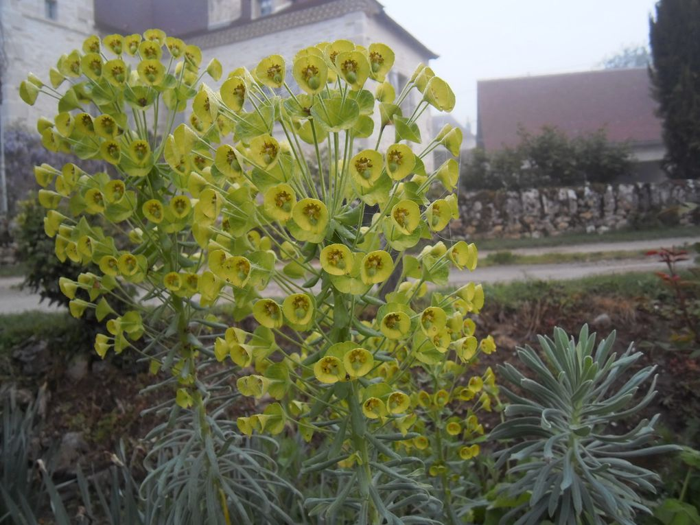 Euphorbe characias, avril - mai (2 photos)