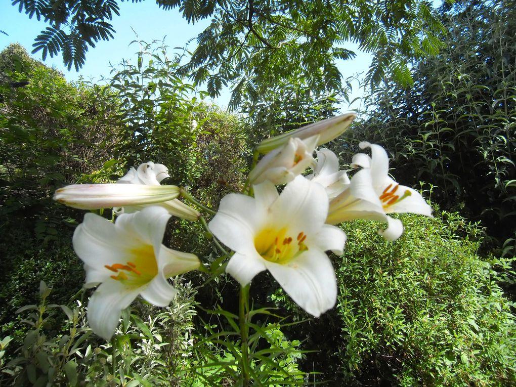 Lys blanc (2photos)