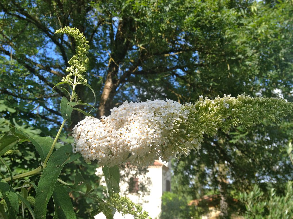 Buddleias 'White profusion' (3 photos)