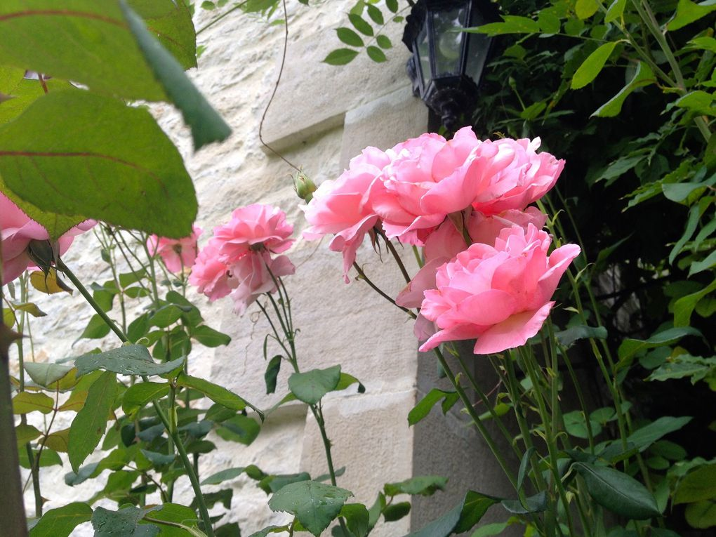 Rosier 'Queen Elisabeth' - 2 photos