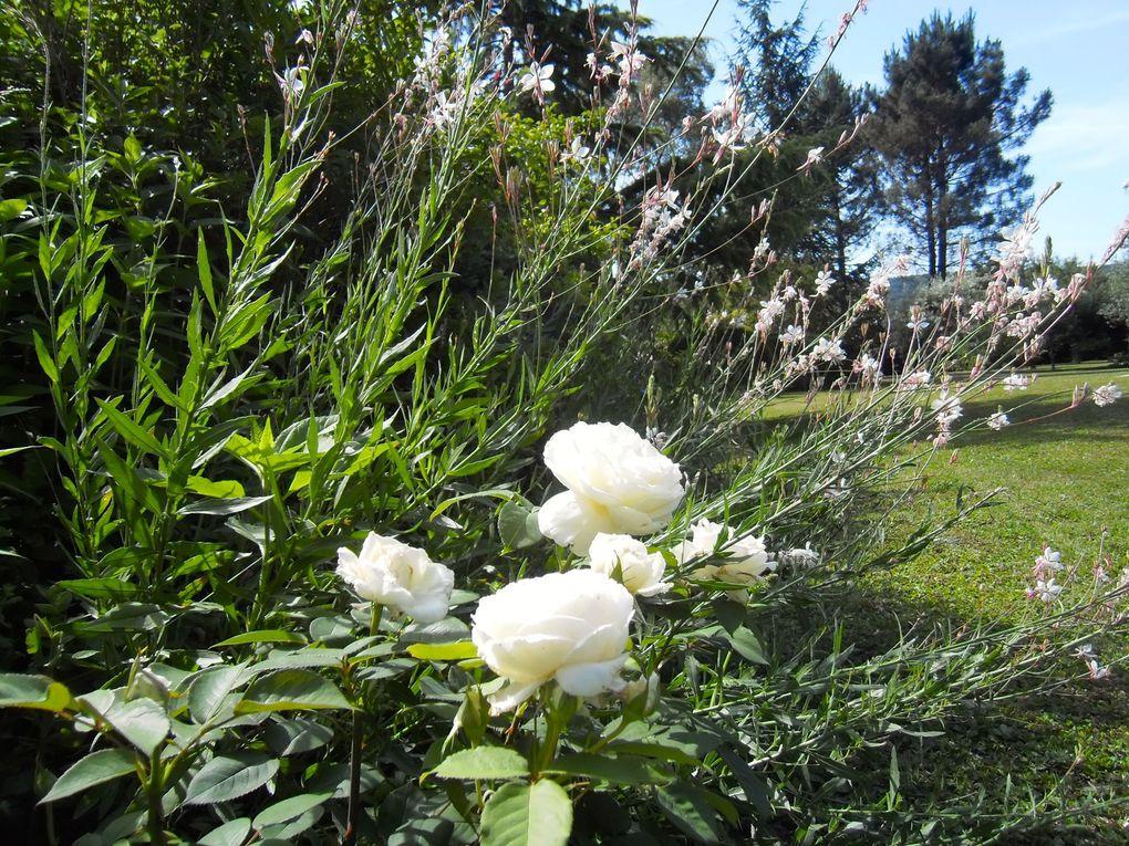 Massif blanc en été - Rosier 'Jeanne Moreau' et Gaura lindheimeri