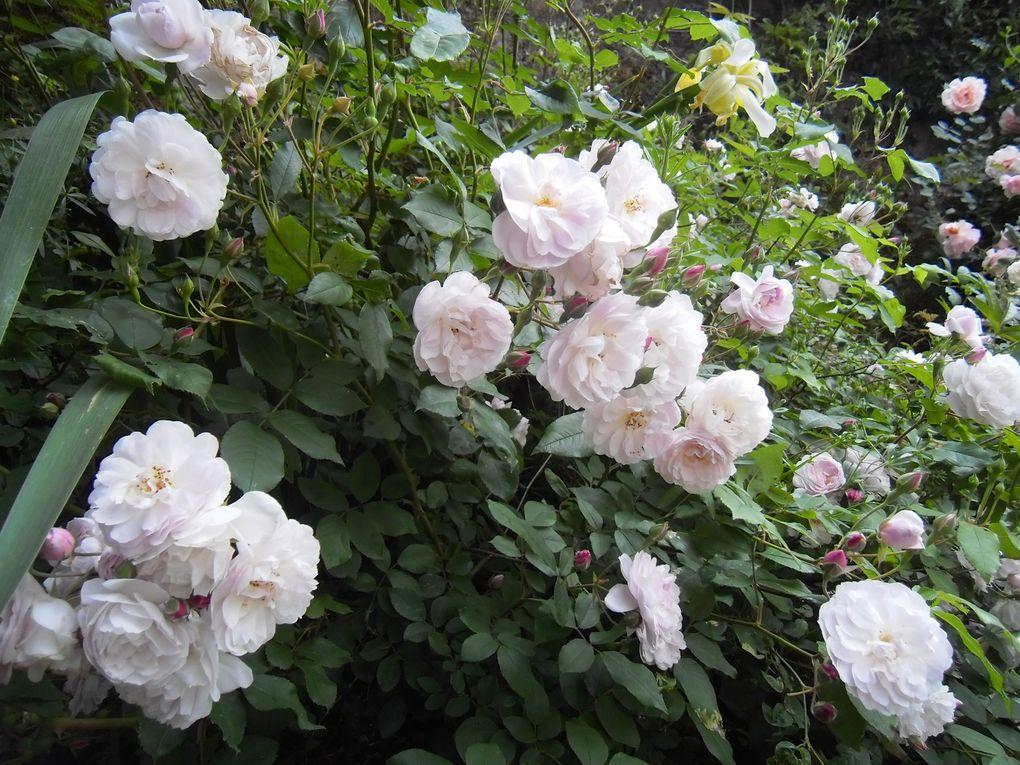 Rosier 'Bouquet parfait'- 3 photos