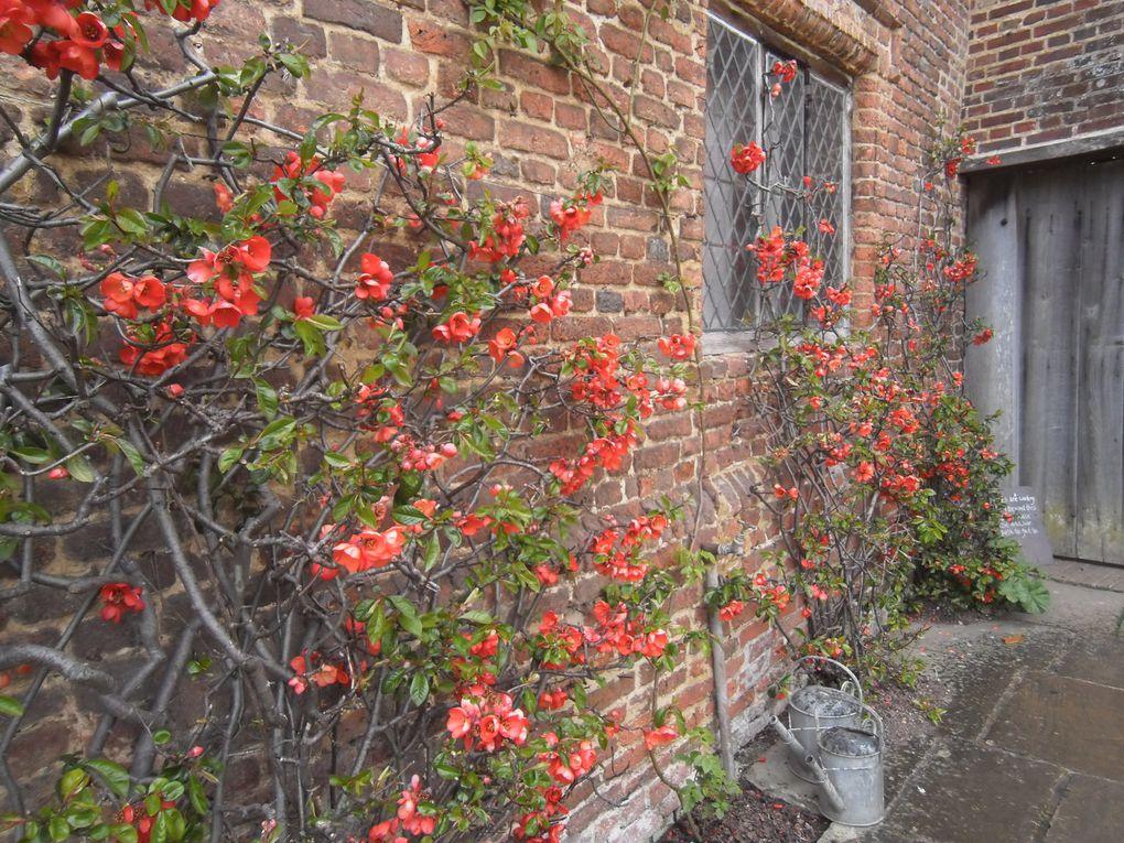 Viburnum carlesii, Ceanothe 'Puget Blue', Chaenomeles rouge vif 'Knap Hill Scarlet' - 4 photos