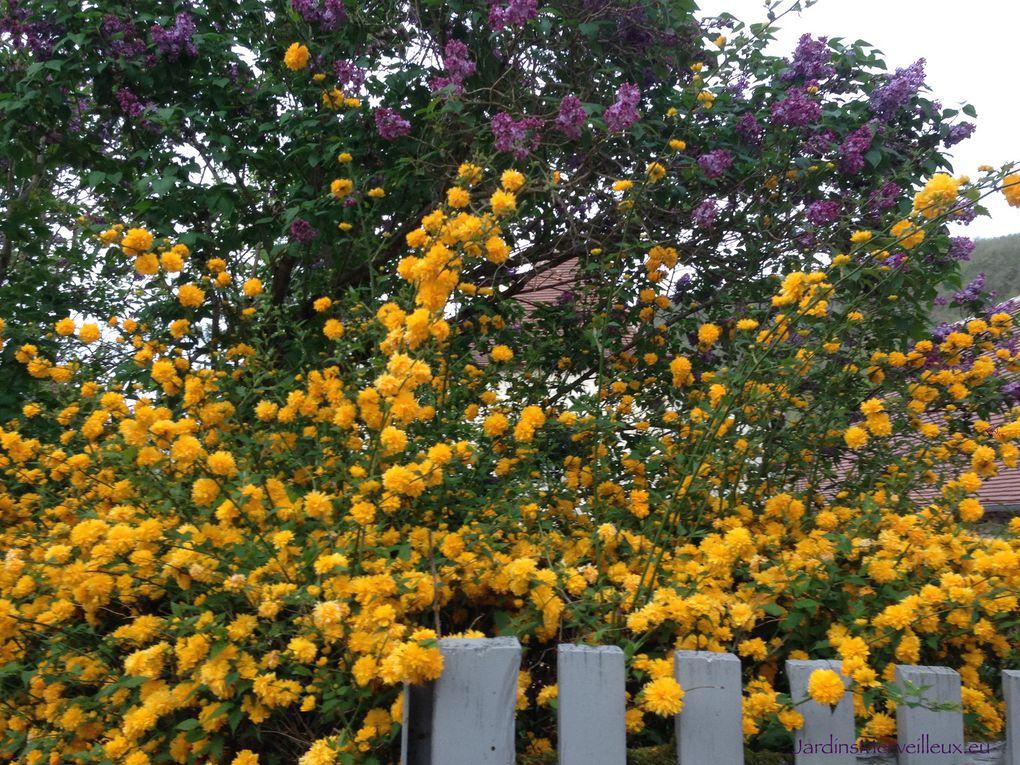 Secteur nord-est : keria japonica et lilas