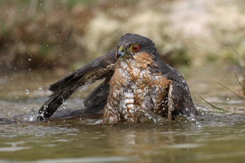 Epervier d'Europe - Accipiter nisus