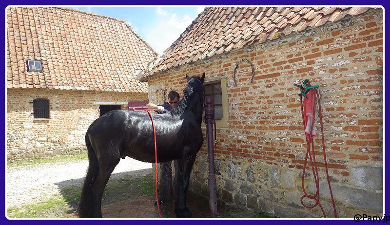 chevaux Frisons