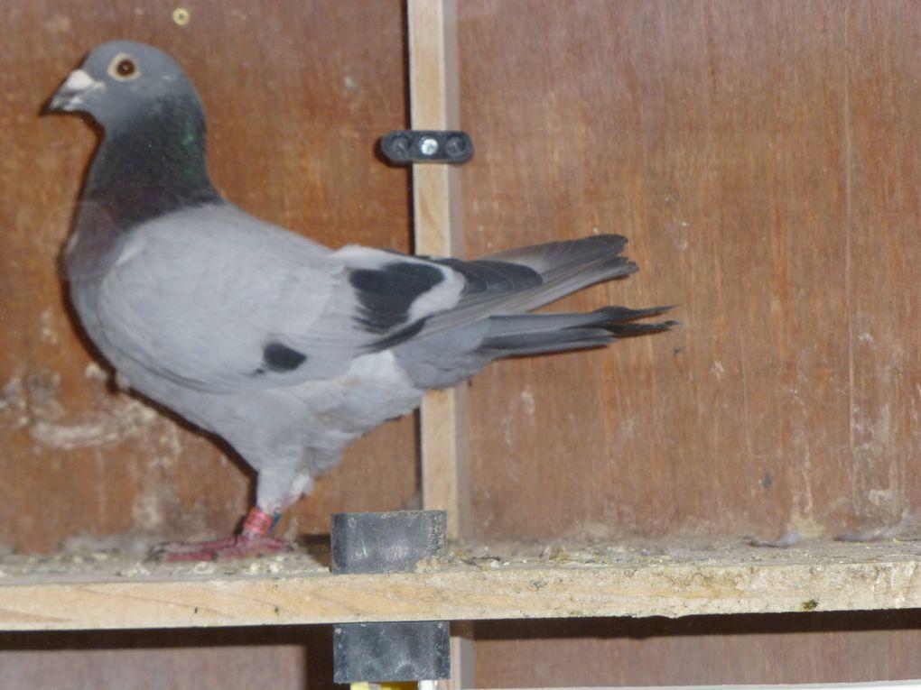 B-1:GENESTE Michel et son pigeon qui vole de Nuit