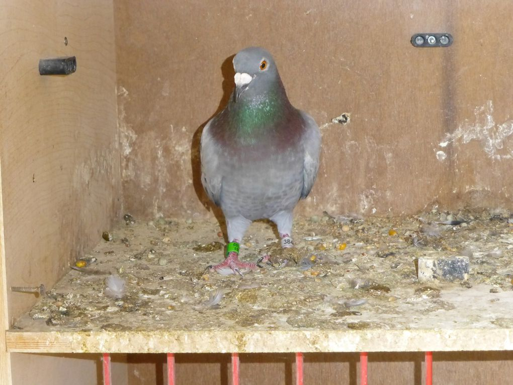 Les colombiers des veufs, des jeunes, le magnifique chêne plus que centenaire, et ses trois as pigeons le 403 (2 fois) le 408 son frère et le 144 422 le St Job