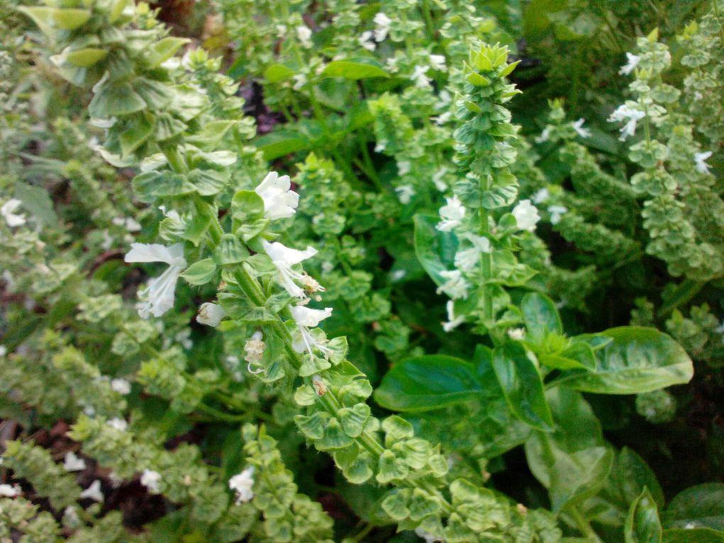 Tomates, courgettes,aubergines basilics haricots....dame nature nous a gâté cet été.