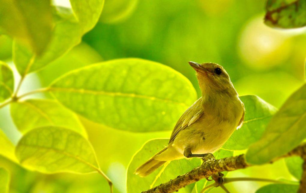 Oiseaux de Guadeloupe