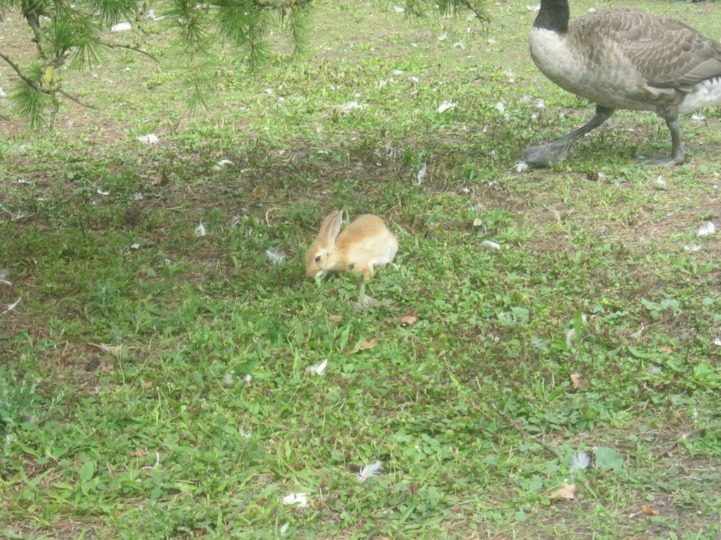 Une bien sympathique cohabitation sur les bords du lac, lapins oies, canards, cygnes et pigeons font bon ménage
