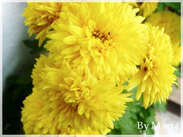Fleurs de Crète