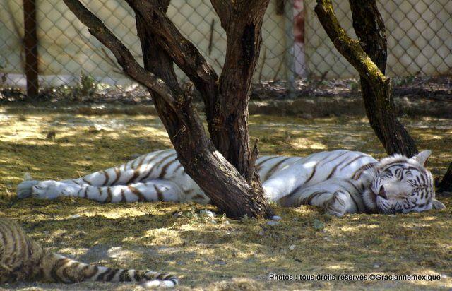 Un tigre blanc, une première !