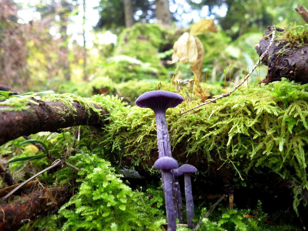 laccaria amethystina / Laccaire améthyste