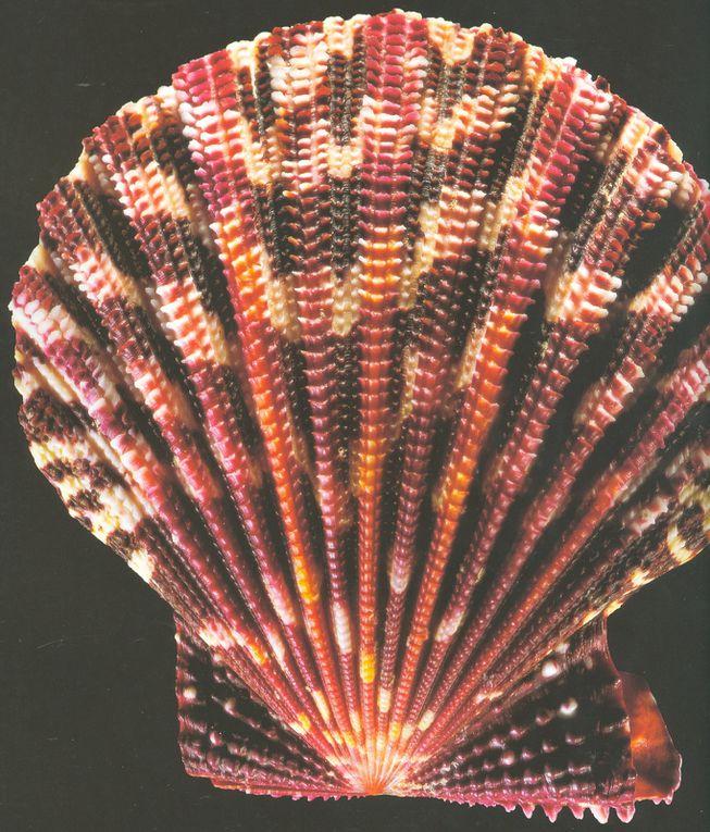 Coquillages : splendeurs sculptées par la nature
