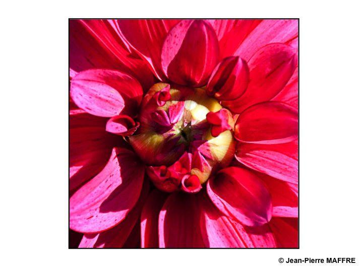 Par son aspect solaire le cœur des fleurs nous entraîne dans un tourbillonnement de couleurs et d'odeurs.