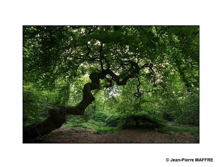 Les faux de Verzy, ces arbres aux troncs et branches tordues, coudées et torsadées, étalant leurs feuilles en forme d'igloo d'un vert très dense, se trouvent dans la Forêt Domaniale de Verzy proche de la montagne de Reims. On y rencontre la plus grande concentration mondiale de hêtres tortillards (environ un millier) ce qui en fait la principale réserve mondiale de faux.