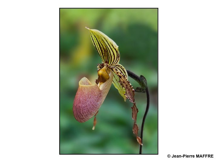 Suivant les auteurs, le nombre d'espèces d'Orchidée (du grec orchis) qui varie de 25 à 30000 en fait l'une des plus importantes familles de plantes à fleurs. Celles-ci ont pratiquement colonisé tous les milieux, à l'exception des déserts et des cours d'eau.