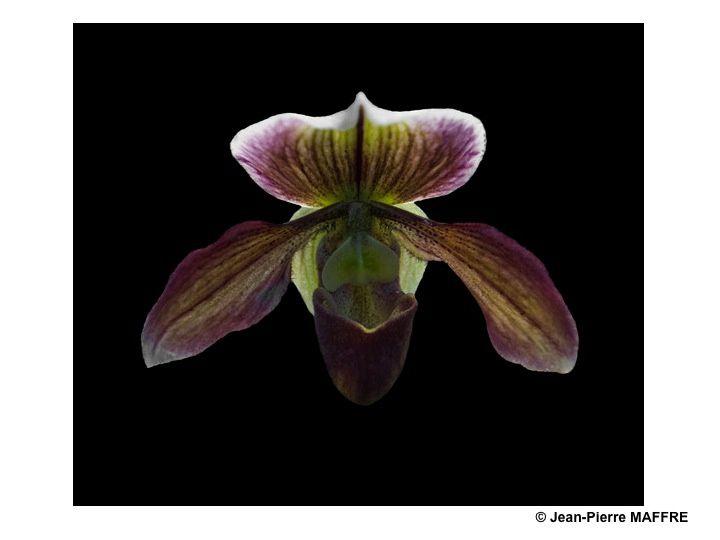 Une autre façon de mettre en valeur les orchidées consiste à les présenter sur un fond noir pour magnifier leurs couleurs.