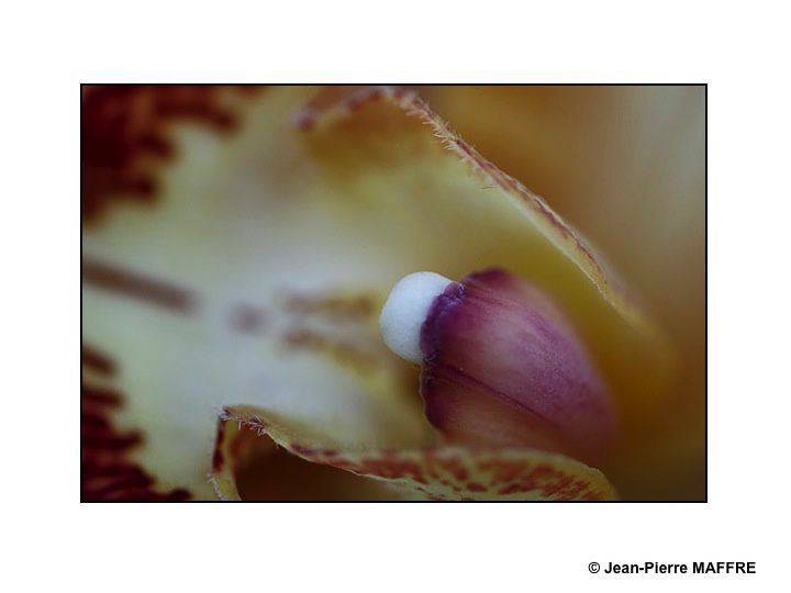 En s'approchant du cœur des orchidées on peut admirer les mystères de leur beauté fascinante.