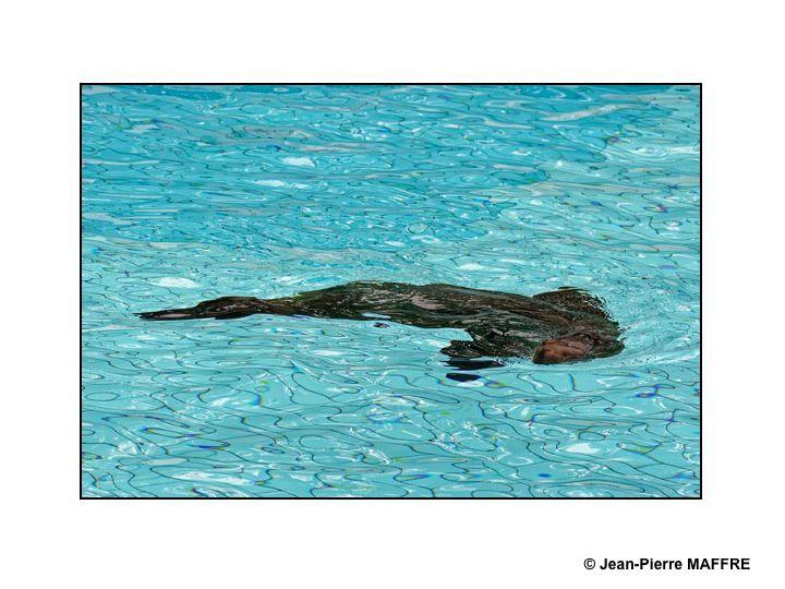 Des otaries évoluant dans une eau balayée par un vent léger créent des formes noires d'un très beau graphisme.