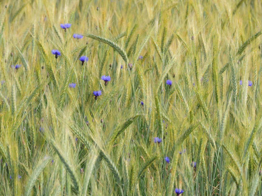 des coquelicot, des bleuets dans le blé... de jolies fleurs en montagne.