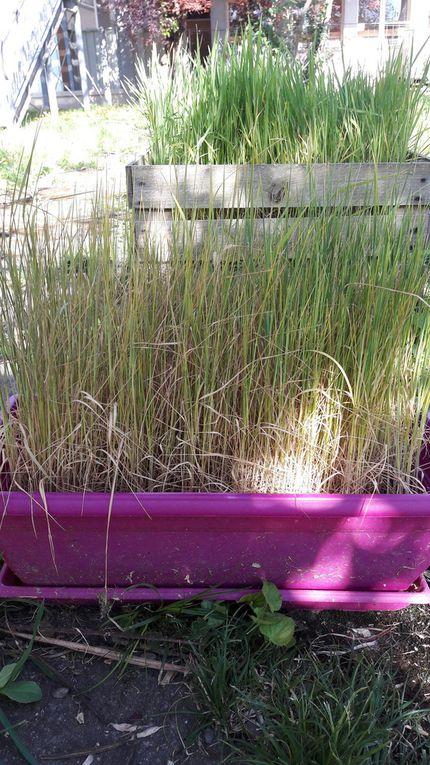 Projet : Le cycle du blé - Du blé au pain