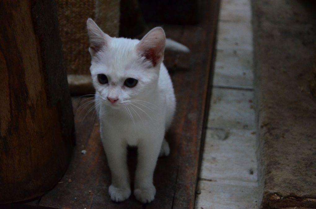 Adoptée : TORNADE, petite chatte blanche née en avril 2015