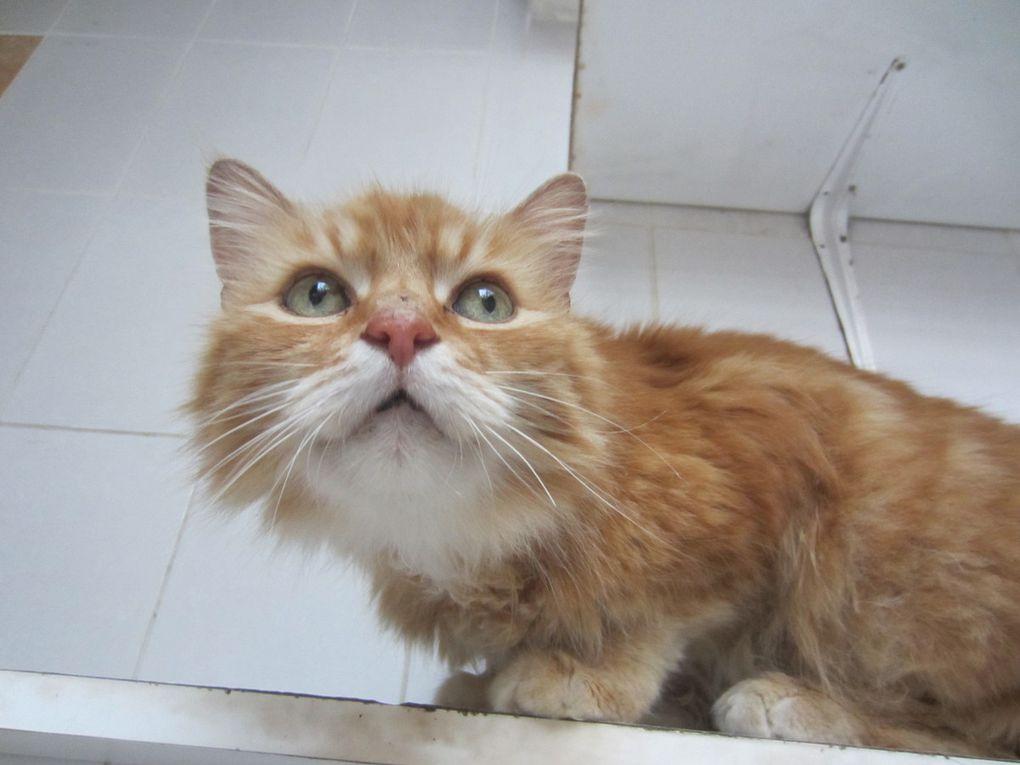 Il est adopté ! RAMINOU, jeune mâle roux à poil long