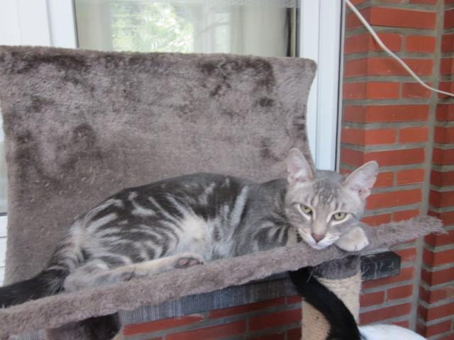 A l'adoption : HOBBES, grand chat marble silver mâle de 3 ans