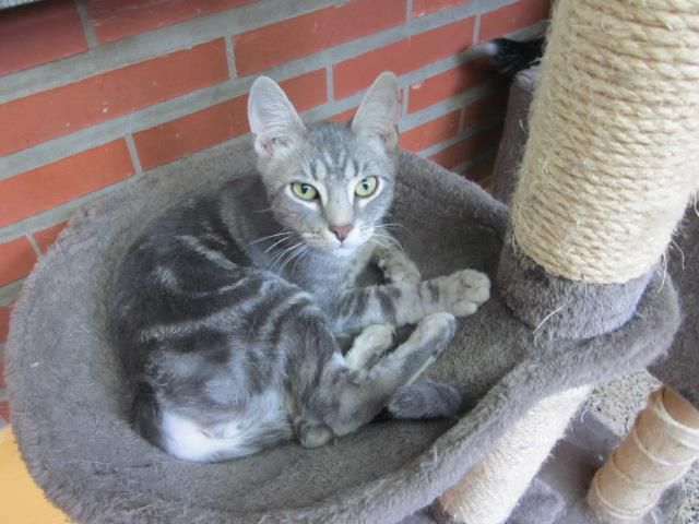 A l'adoption  : JEREMY,  chat marble silver mâle né en 2015