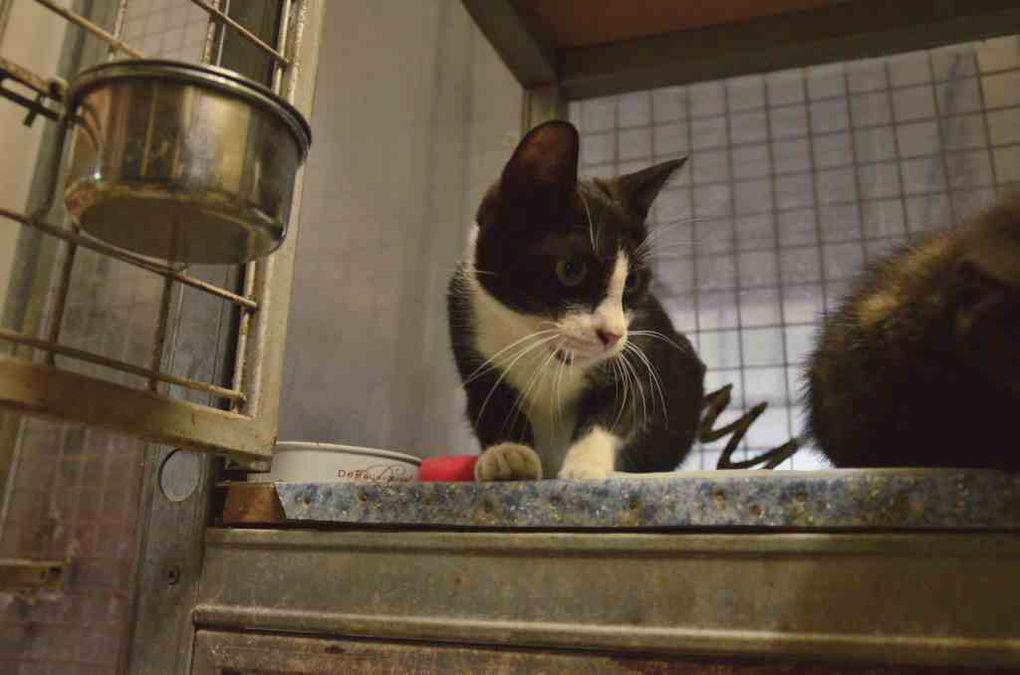 Elle est adoptée !!! : LENAH, jeune chatte stérilisée de moins de 2 ans