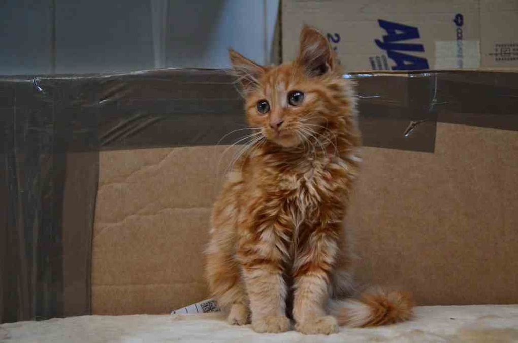 Il est adopté : GINGY, chaton mâle roux à longs poils