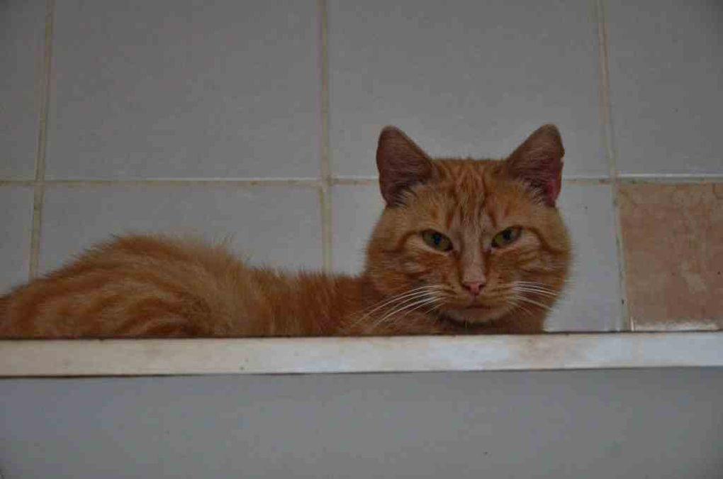 Adopté !!!! : OSCAR, chat mâle castré roux de 2 ans environ