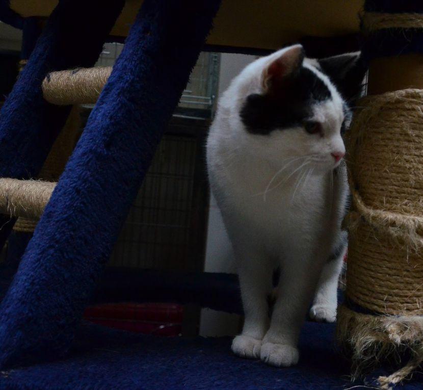 Il est adopté !!! : MATHYS, chaton mâle castré d'1 an