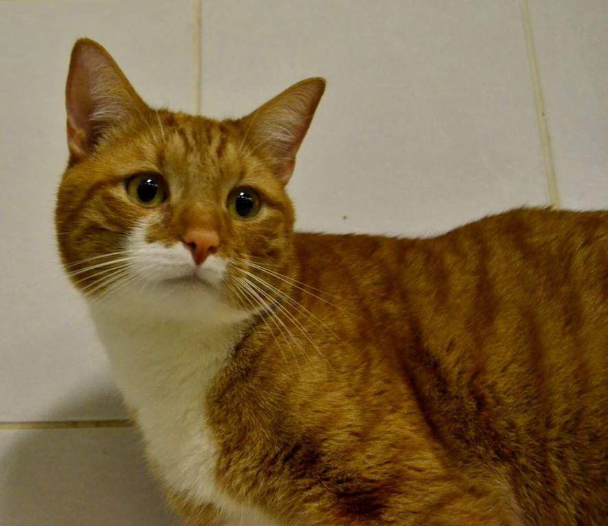 Adopté : PADAM, beau mâle castré roux et blanc de 3 ans