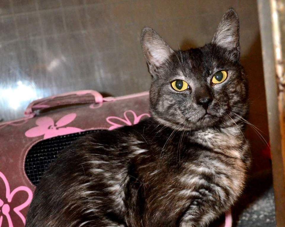 Il est adopté !!!  : RUFUS, beau chat mâle castré &quot&#x3B;brown smoke&quot&#x3B;