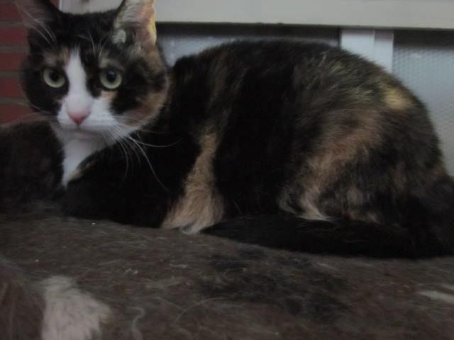 Elle est adoptée !!! : ANKA : magnifique tricolore d'environ 2 ans