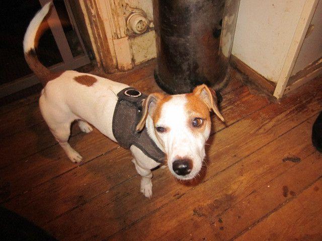 A adopter : GUCCI : petit Jack Russel Terrier mâle de 5 ans
