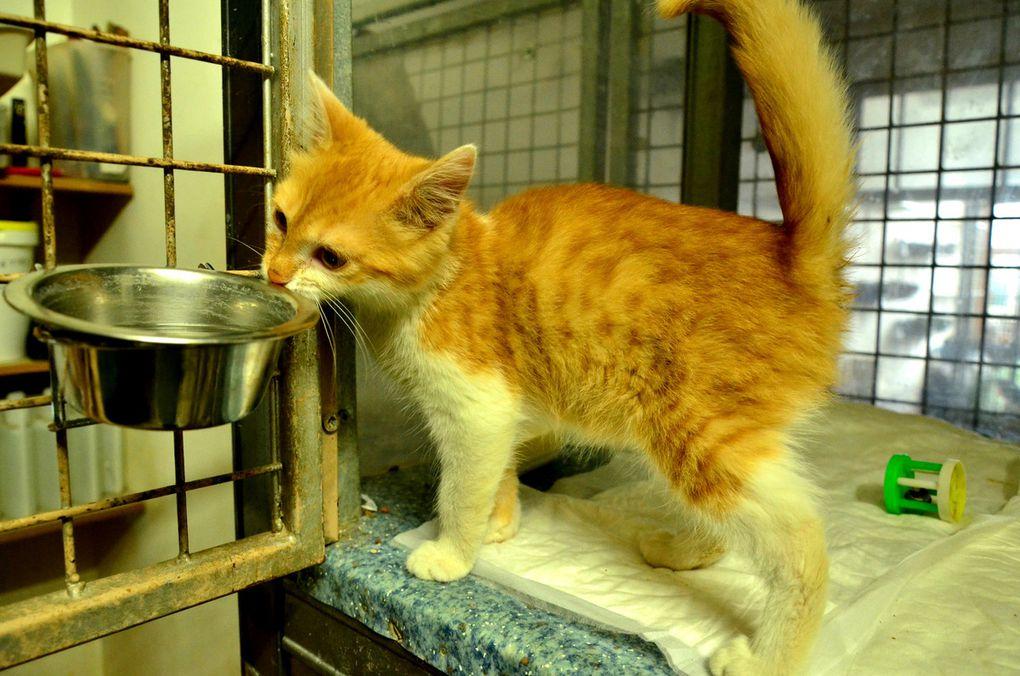ADOPTEE !!!  : MINNIE, chaton roux femelle de 3 mois