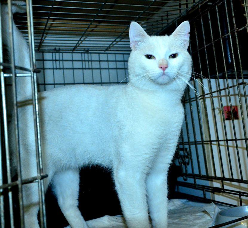 Il est adopté !!!  : JOHN, grand mâle castré 100 % blanc d'1 an et demi environ