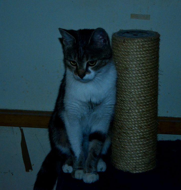 A l'adoption :  la jolie CAPUCINE, jeune chatte de 11 mois