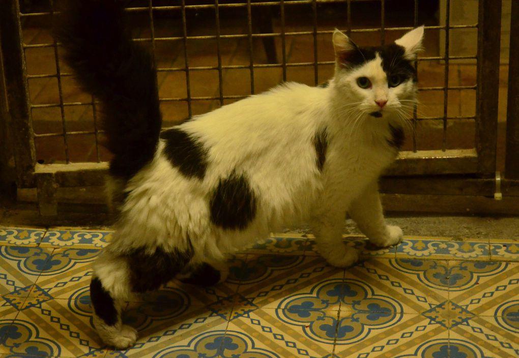 Il est adopté !!! : PICASSO, gentil mâle castré à poil mi-long de 2 ans