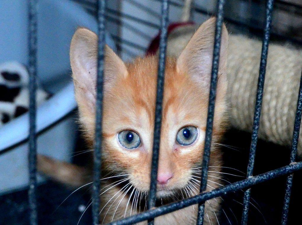 Ils sont adoptés !!!  : McIntosh et Moustique, adorables chatons roux mâles nés mi-juillet 2016
