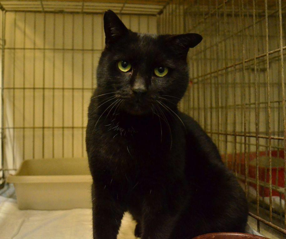Il est adopté !!! : NOËL, grand chat noir mâle castré d'environ 3 ans