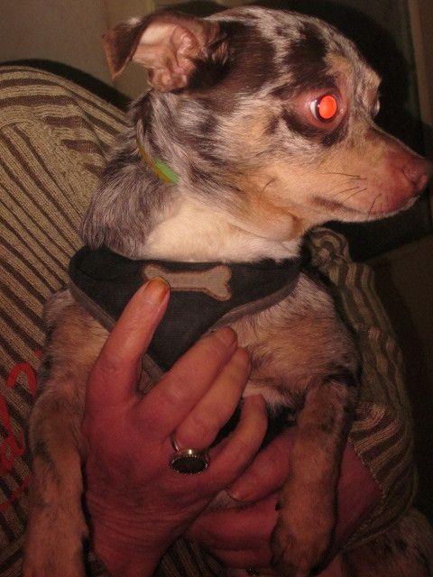 A l'adoption : CHOCO - Chihuahua mâle bleu merle de 4 ans