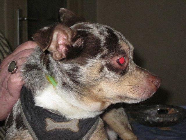 Il est adopté !!! : CHOCO - Chihuahua mâle bleu merle de 4 ans