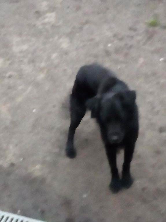A l'adoption chez Veeweyde  : DEMON, gentil Flat Coated Retriever mâle de 5 ans
