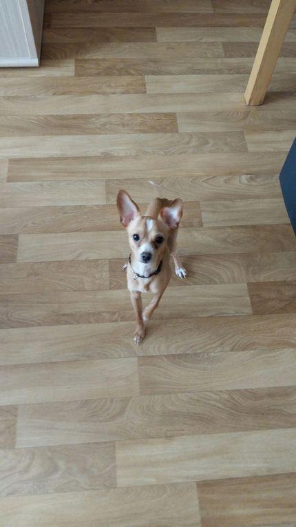 Il est adopté !!! : LEO, petit croisé Pinscher-Chihuahua mâle d'1 an