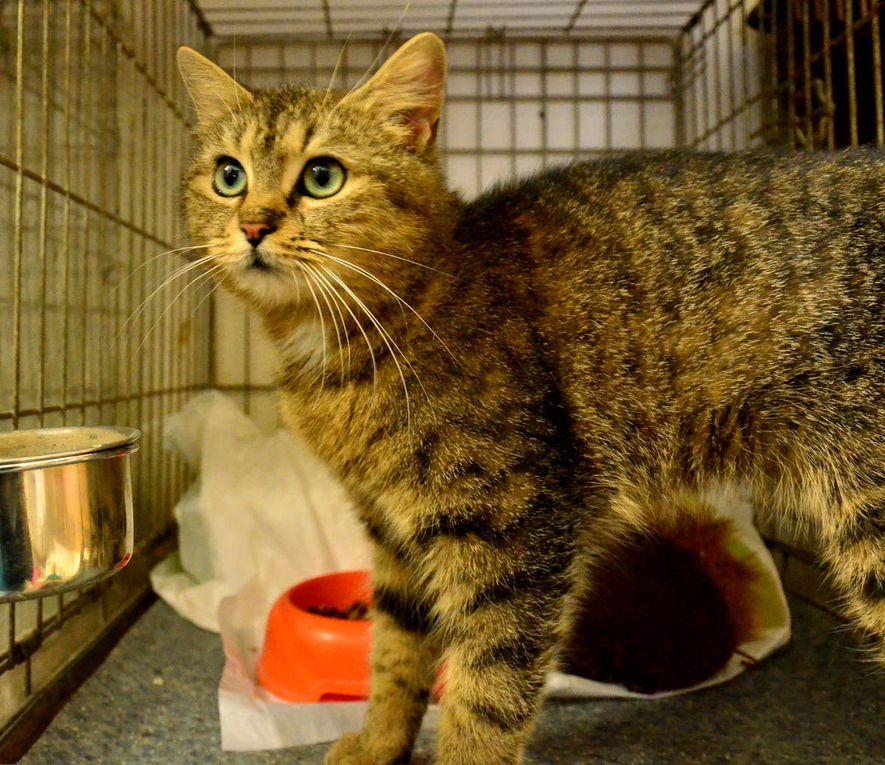 Elle est adoptée !!!  : FRANCINE, petite chatte stérilisée toute mignonne d'1 an
